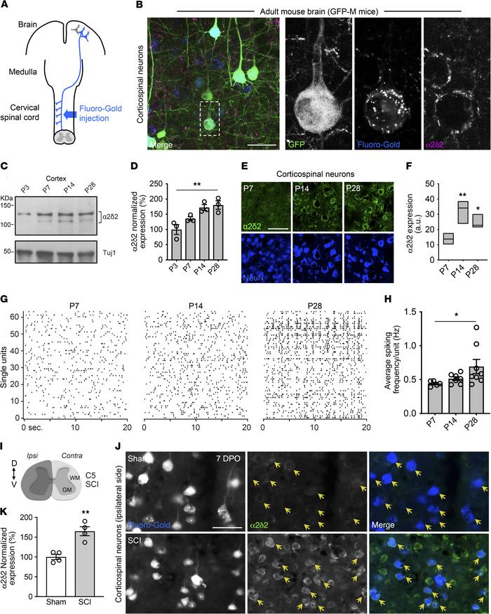 α2δ2 is expressed in corticospinal neurons and subjected to developmenta...