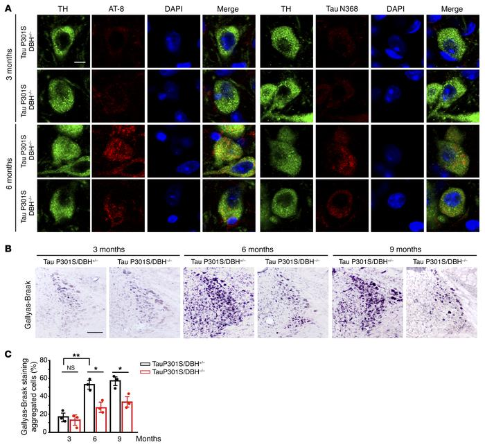 LC Tau pathology in P301S mice are dependent on NE. Tau P301S/DBH+/– and...