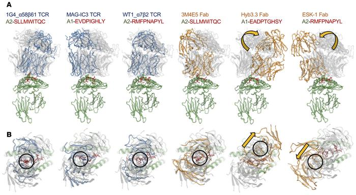 Structural analysis of pHLA-targeting reagents. Structures of the TCRs a...