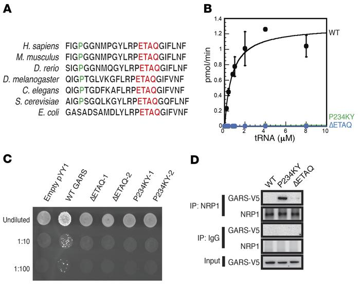 In vitro characterization of ΔETAQ mutation. (A) The position and evolut...