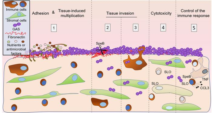 Schematic representation of the initial steps of decidual invasive infec...