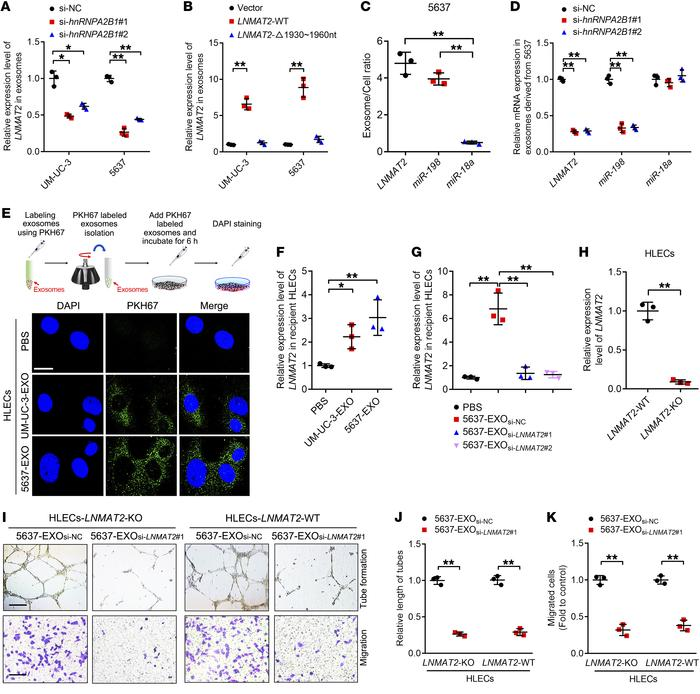 LNMAT2 is packaged into exosomes in an hnRNPA2B1-dependent manner and t...