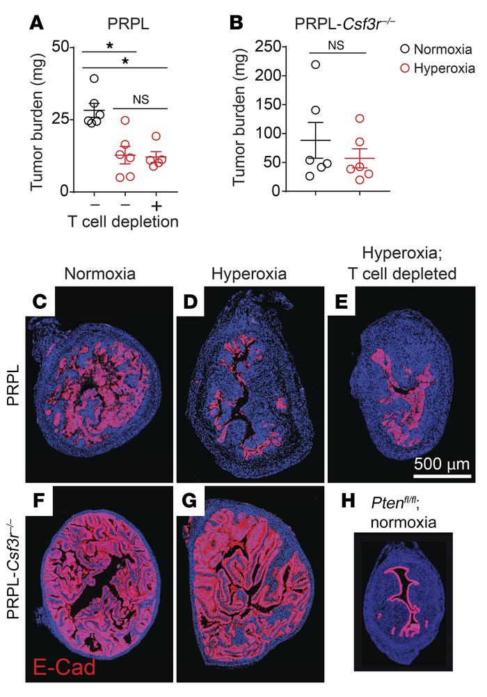 Relief of tumor hypoxia improves net PMN-dependent tumor control. (A and...