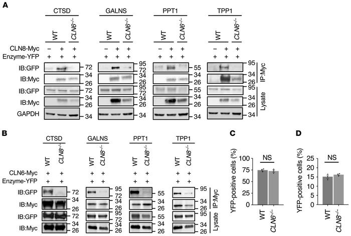CLN6 and CLN8 are mutually necessary for their interaction with lysosoma...