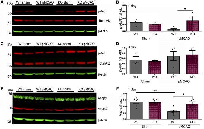 Expression of p-Akt and Angpt2 is increased in KO mice 1 day after pMCAO...