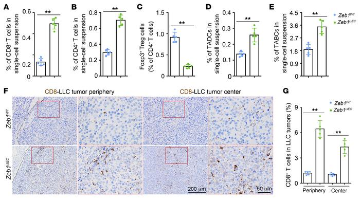 Endothelial ZEB1 deletion enhances presence of tumor-infiltrating immune...