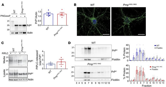 PrP180Q/196Q traffics similarly to WT PrPC in primary neurons and in mic...