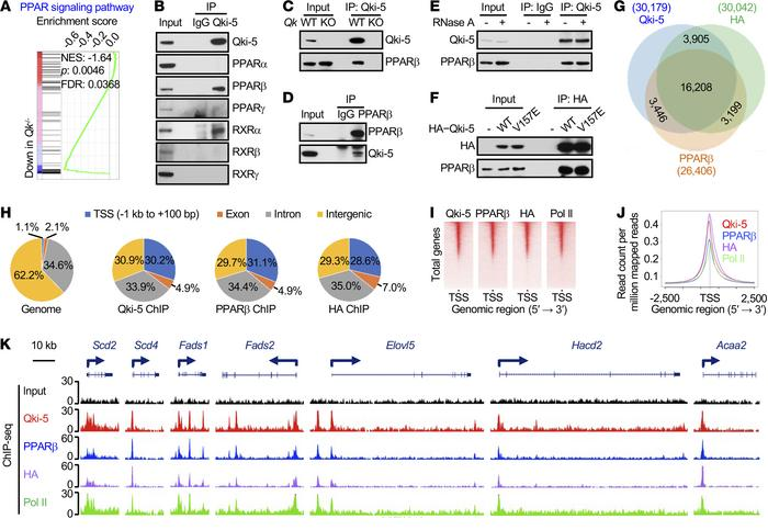 Qki-5 interacts with PPARβ-RXRα to regulate the transcription of genes i...
