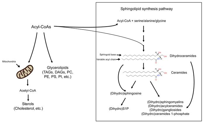 Schematic depicting the sphingolipid biosynthesis pathway. Fatty acyl-Co...