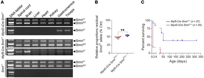 Robust, muscle-specific inactivation of the SmnF7 allele with MyoD-iCre....