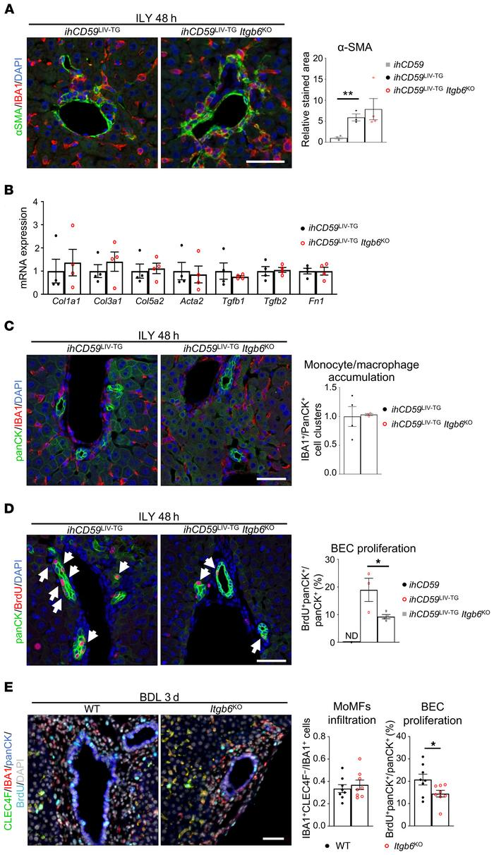 ITGβ6 deficiency impairs BEC proliferation but not early portal fibrosis...