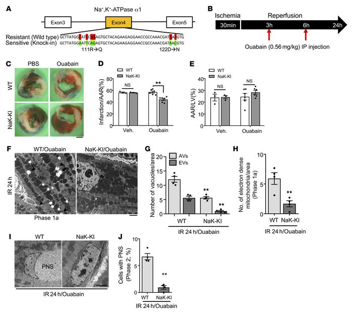 Inhibition of Na+,K+-ATPase α1 activity attenuates I/R injury in the mou...