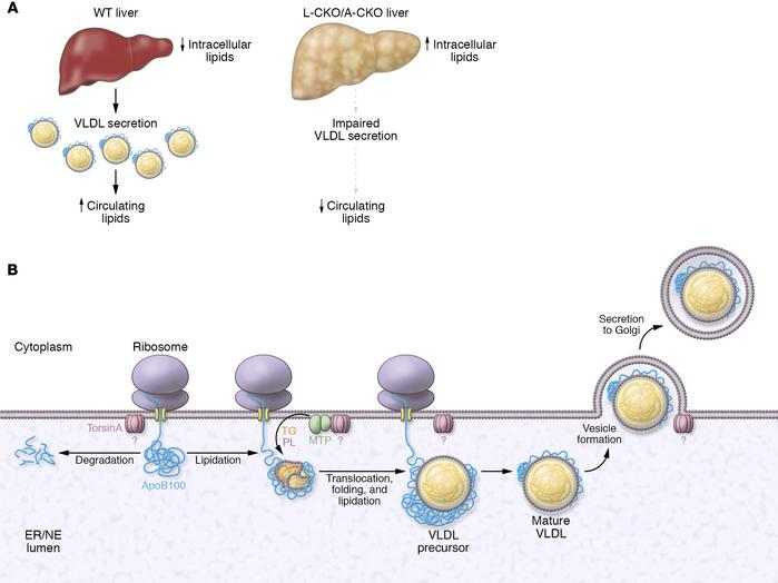 Possible roles for torsinA in the context of VLDL metabolism. (A) As WT ...