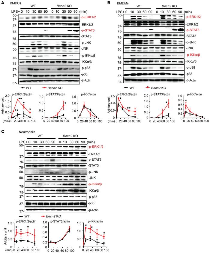 Becn2 deficiency enhances ERK, NF-κB, and STAT3 signaling. (A–C) Immuno...