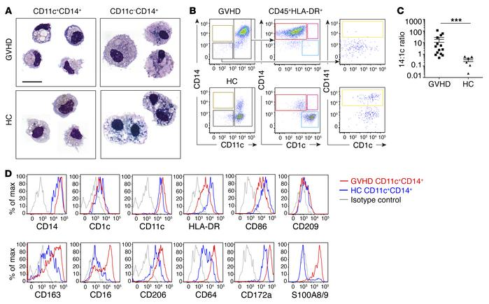 CD14+CD11c+ cells are small migratory macrophages with monocyte antigen ...