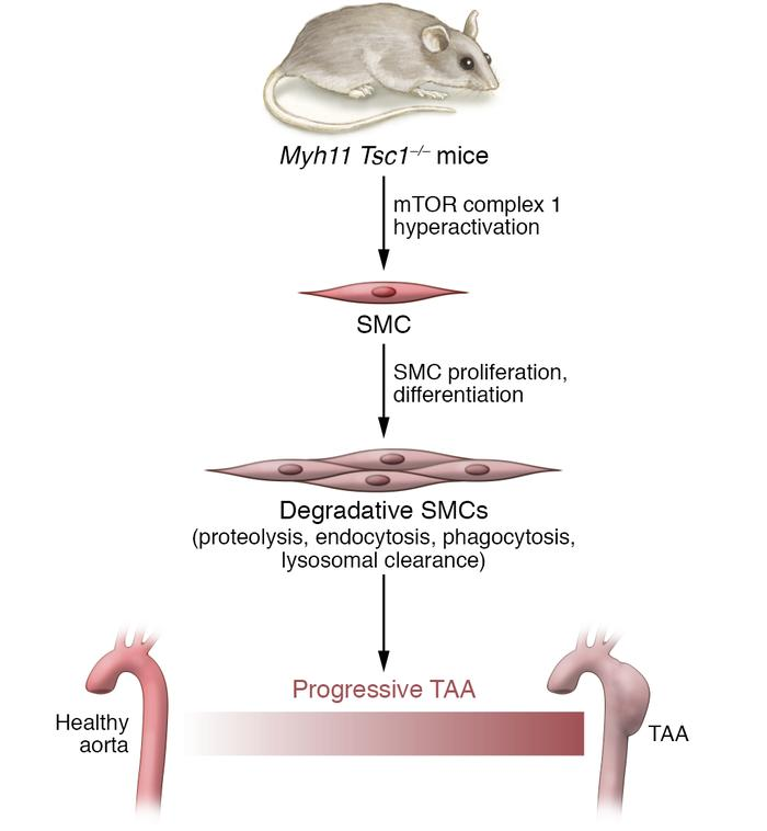 mTOR-induced proliferation of degradative SMCs leads to progressive TAA....
