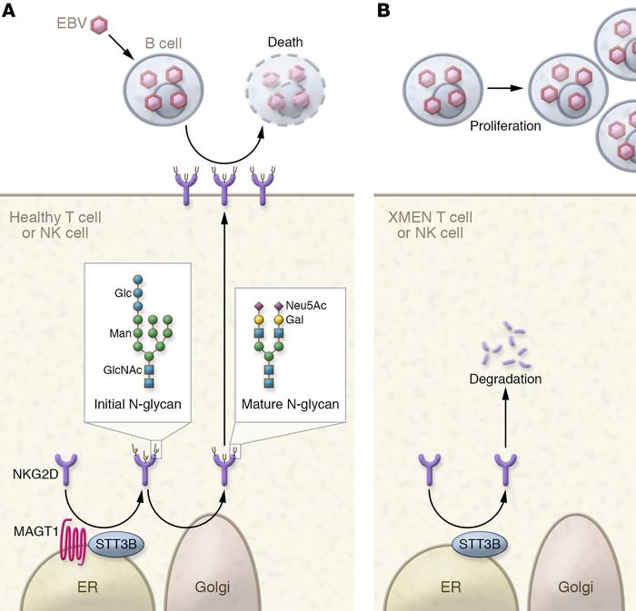 A model for XMEN pathology. In healthy T cells and NK cells, MAGT1 is re...