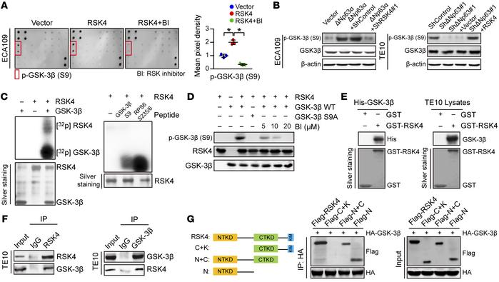 RSK4 directly phosphorylates GSK-3β (Ser9). (A) MAPK pathway phosphoryla...