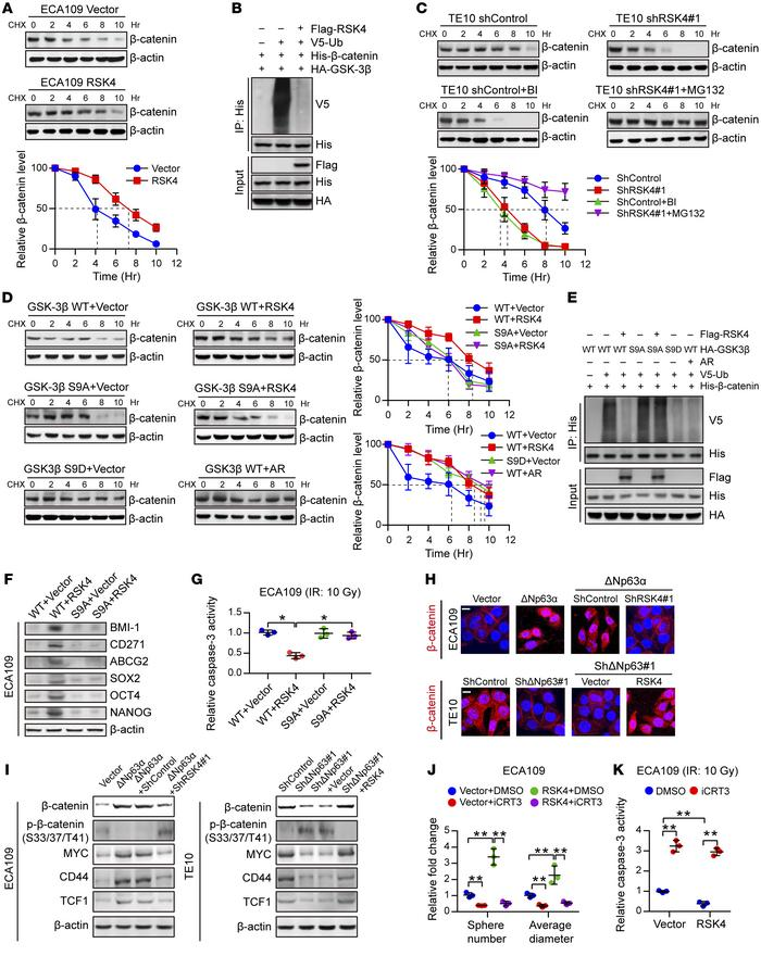 RSK4 activates the Wnt/β-catenin pathway. (A) Control or RSK4-overexpres...