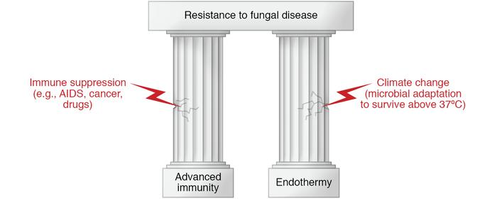 The remarkable resistance of humans (and mammals) to fungal diseases res...
