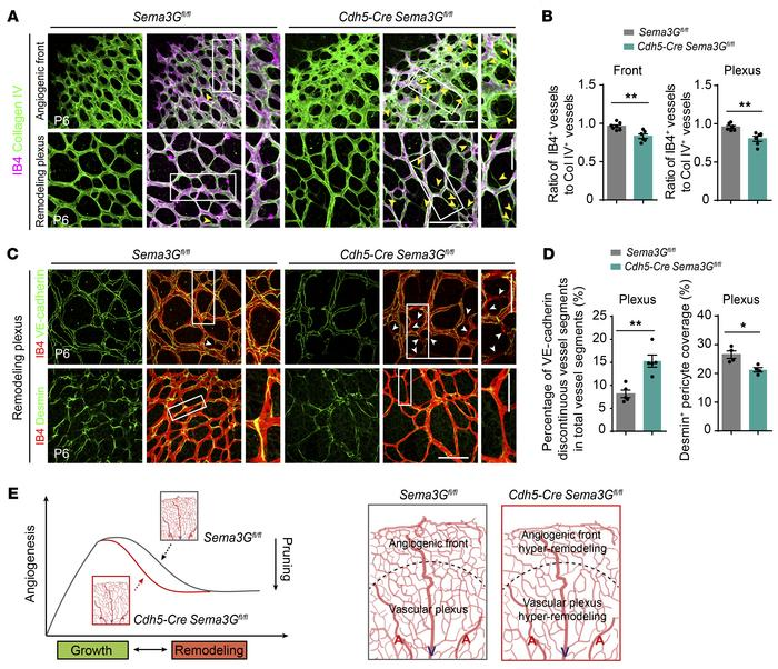 Endothelial Sema3G contributes to the coordination of vascular remodelin...
