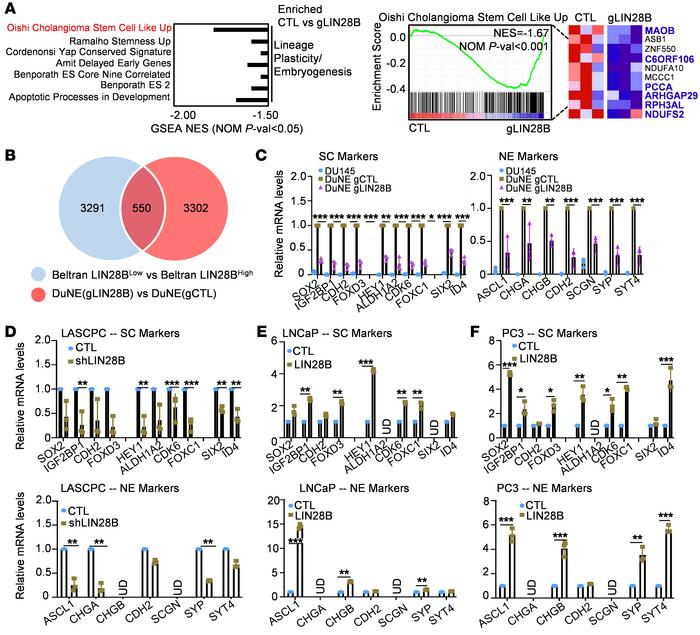 LIN28B regulates a stem-like pluripotency gene network in t-NEPC cells. ...