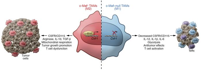 c-Maf promotes M2 polarization in TAMs. In NSCLC, macrophages upregulate...