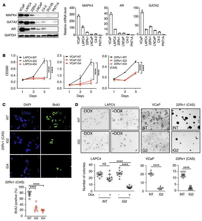 Knockdown of MAPK4 inhibits PCa cell growth. (A) MAPK4, GATA2, and AR ex...