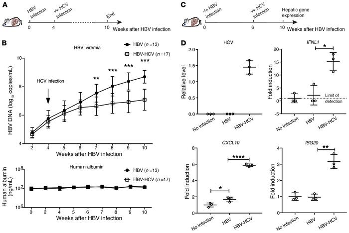 Analysis of HBV-HCV coinfection in cDNA-uPA/SCID mice. (A) Thirty mice w...