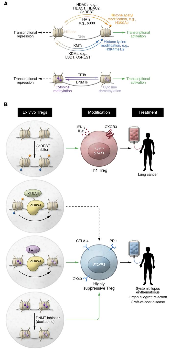 Pharmacologic and epigenome editing approaches to Treg immunotherapy. (A...