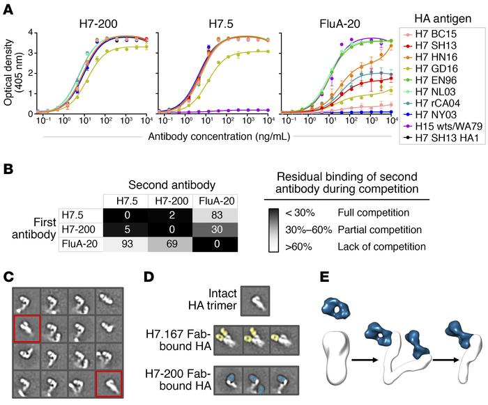 H7-200 is a heterosubtypic HA head domain–specific Ab that disrupts the ...