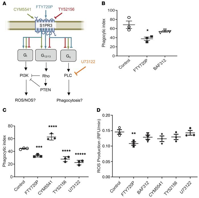 FTY720 impairs phagocytosis and ROS in macrophages. (A) A schematic of p...