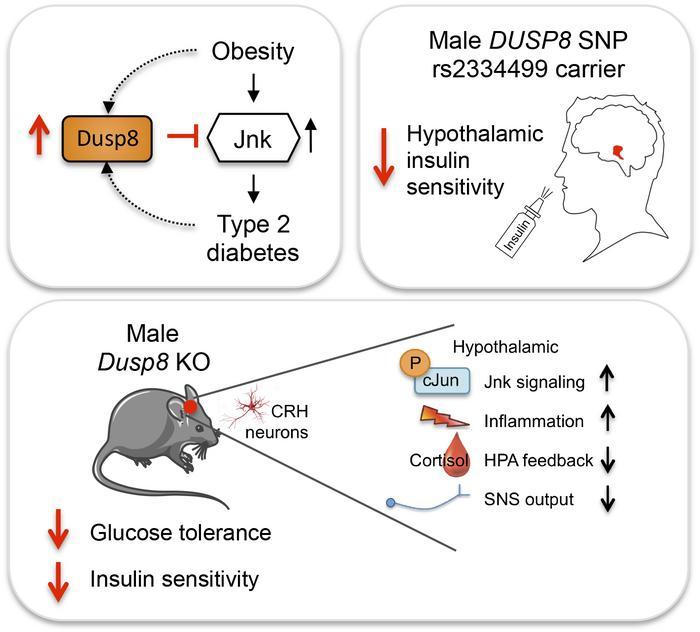Type 2 diabetes risk gene Dusp8 regulates hypothalamic Jnk signaling and insulin sensitivity