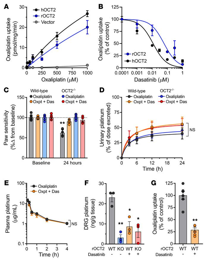 Genetic and pharmacologic targeting of OCT2 protects rats from OIPN. (A)...