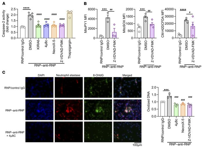 IRE1α-dependent caspase-2 activation mediates ROS generation. Control ne...
