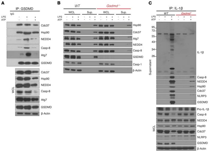 Nonlytic release of IL-1β from IEC requires assembly of a secretory comp...