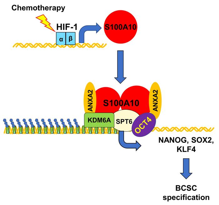 HIF-1–mediated S100A10 expression triggers chemotherapy-induced BCSC enr...