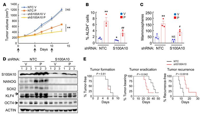 S100A10 knockdown blocks paclitaxel-induced BCSC enrichment in vivo. (A–...