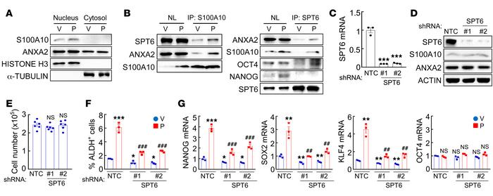 SPT6 interacts with the S100A10-ANXA2 complex. (A) MDA-MB-231 cells were...