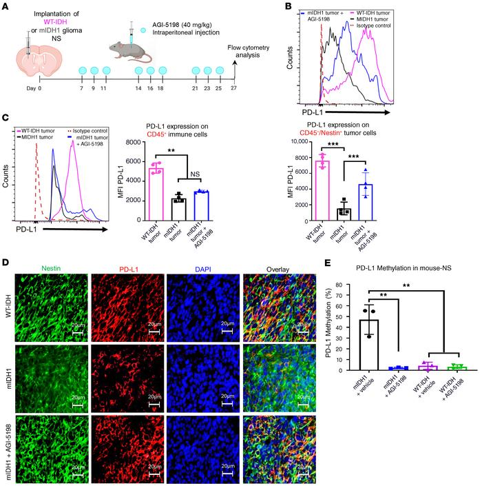 Inhibition of IDH1-R132H increases PD-L1 expression levels on mouse mIDH...