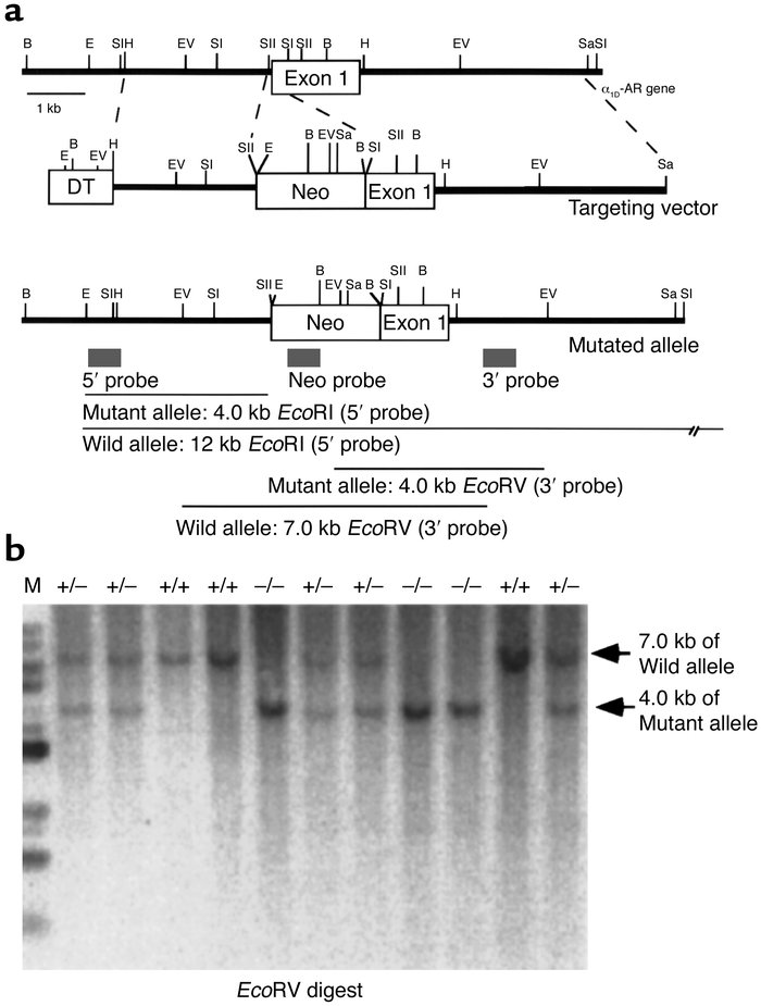 Generation of α1D-AR–deficient mice. (a) Simplified restriction map arou...