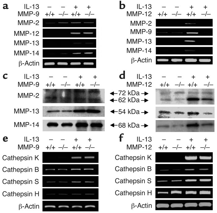 IL-13 regulation of lung MMPs and cathepsins. CC10-rtTA-IL-13 transgene–...