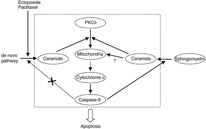 The role of PKCδ in inducing sustained Cer accumulation in mitochondrial...
