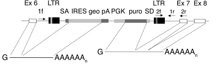 Targeting the C1INH gene in mice by random insertional mutagenesis (12)....