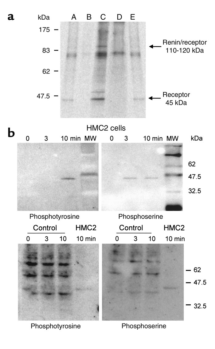 Cross-linking with renin and phosphorylation of the receptor. (a) HMC an...