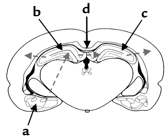 Model of KA-induced seizures in the limbic system. A diagram of a corona...