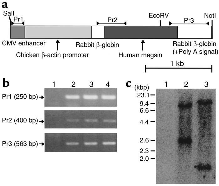 Generation and characterization of human megsin transgenic mice. (a) Meg...