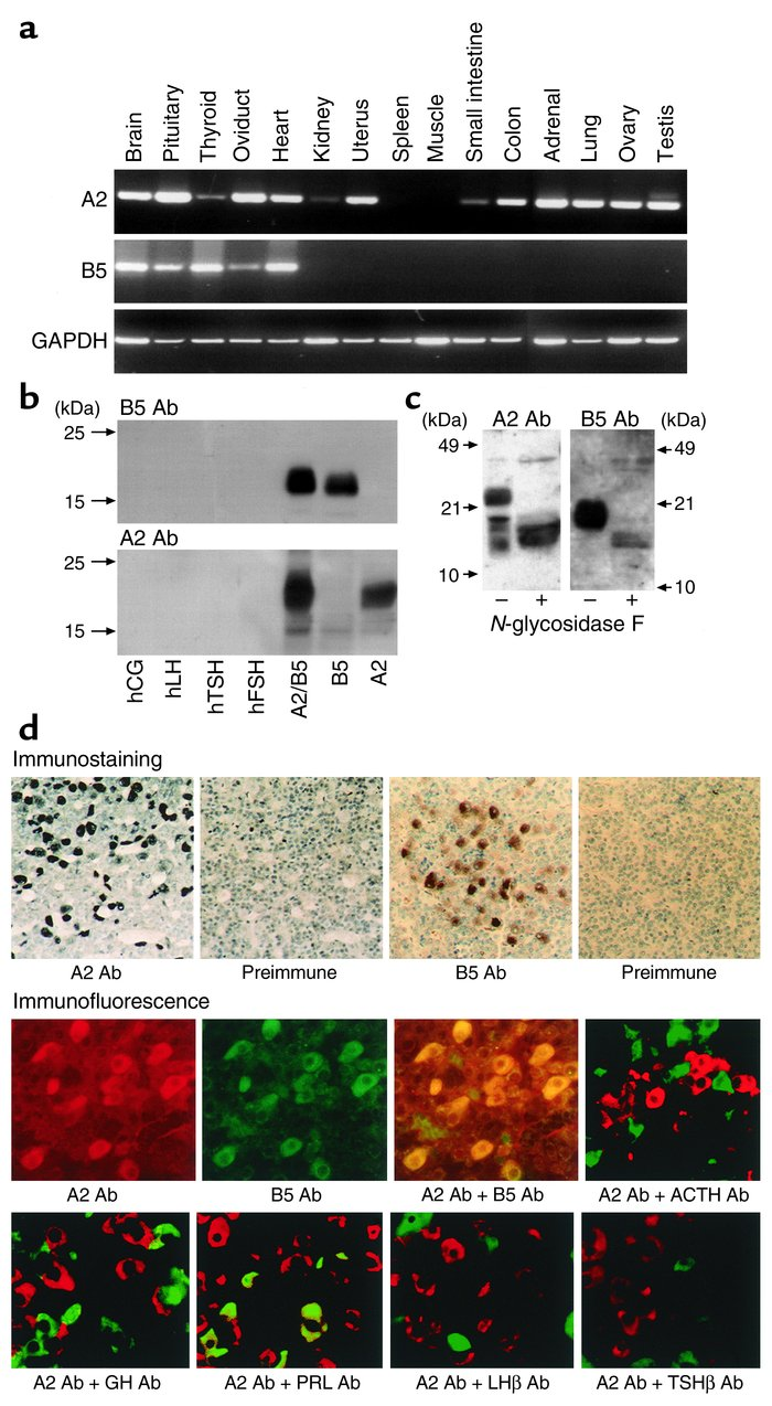 Expression of A2 and B5 mRNA in rat tissues and immunoanalyses of A2 and...