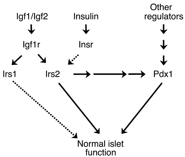 Proposed model of the multiple pathways linking Irs2 signaling and Pdx1 ...