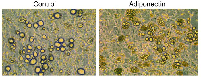 Preadipocytes from COX-2+/– mice are resistant to adiponectin. Fat cells...
